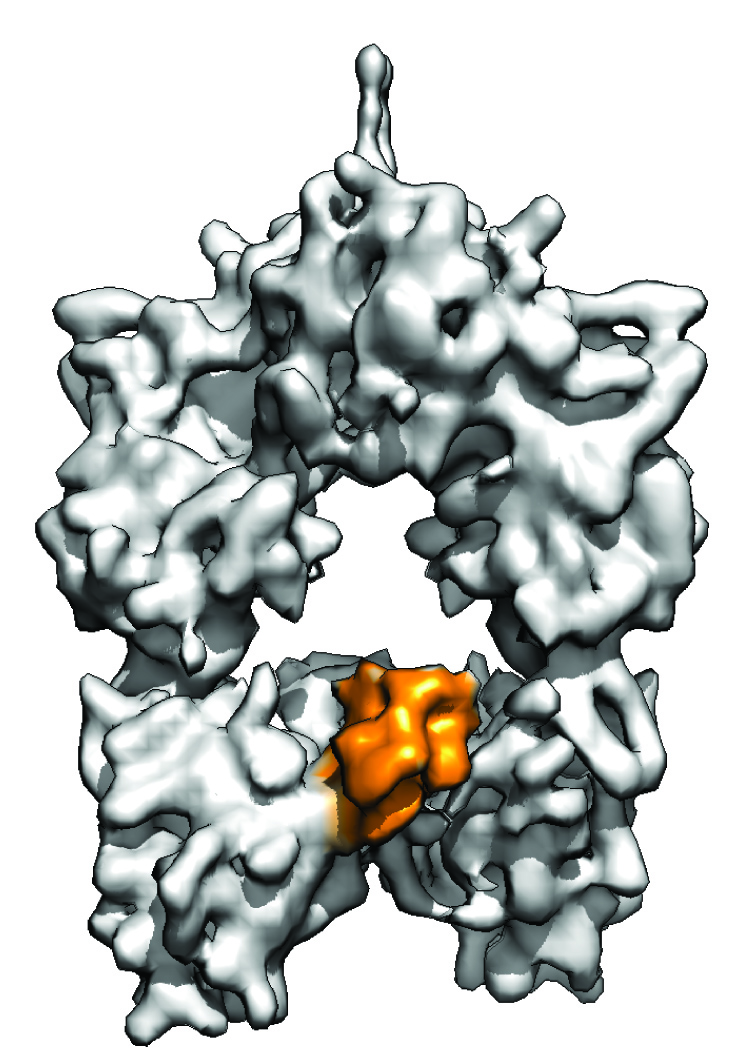 Cryo-EM structure of the central enzyme in the assembly process that creates polyketides (Credit: Somnath Dutta)