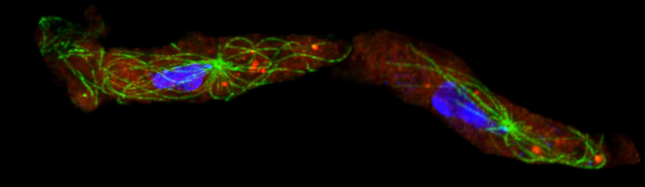 Immunofluorescence image of chemotaxing Dictyostelium cells showing the distribution of microtubules, adenylyl cyclase mRNA, and nuclei