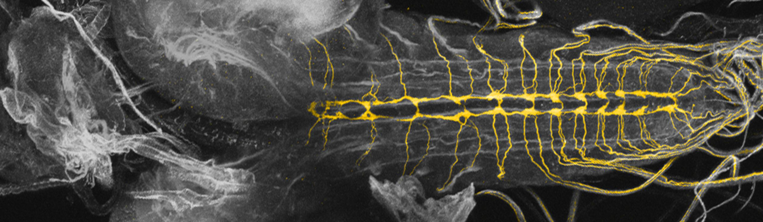 Fly nervous system