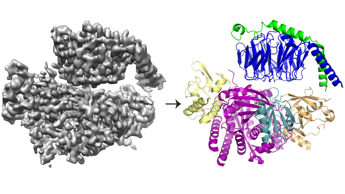 Cyo-EM 3D structure and protein model of P-Rex1 bound to G-beta-gamma