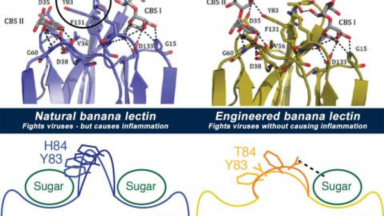 Graphic of banana lectin