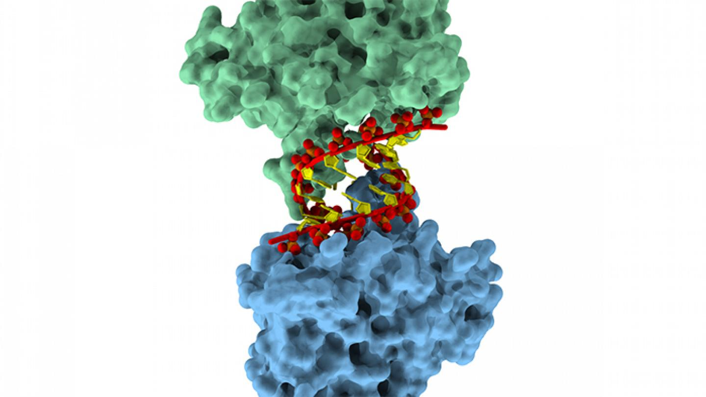 Two molecules of restriction factor APOBEC3H form a sequence-independent complex with an RNA duplex.