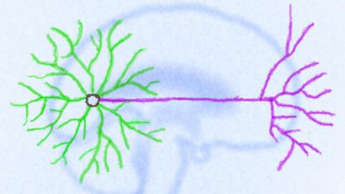 Drawing of a neuron