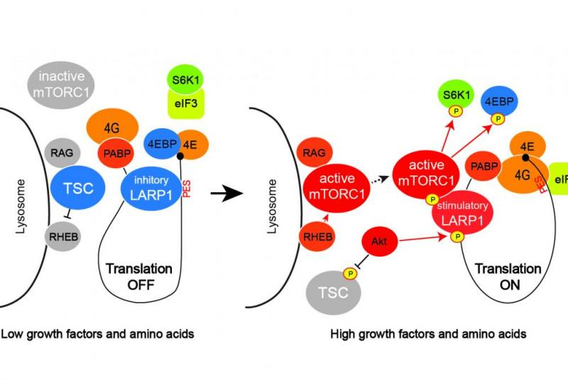 schematic overview of new findings about LARP1's role as a molecular switch for mTORC1-mediated translation (Creative Commons, eLIFE)