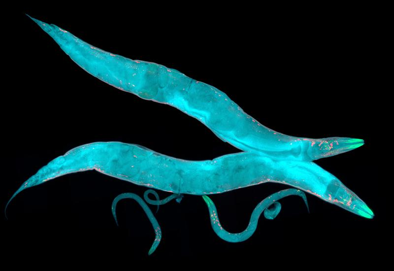 Colorful nematodes (HeitiPaves/iStock/Thinkstock)