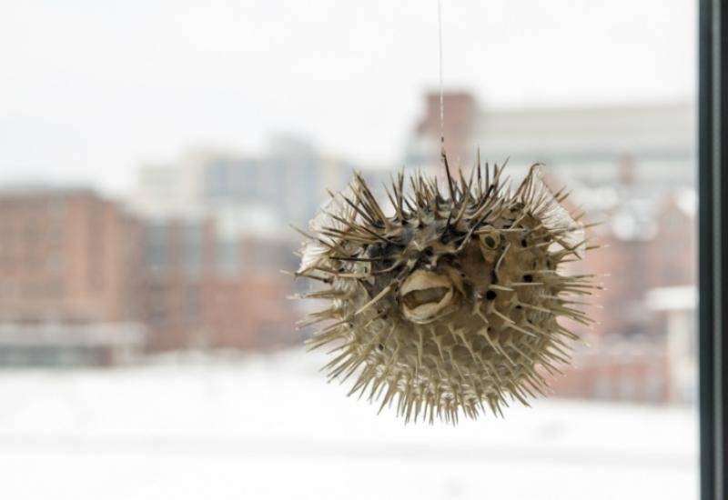 Dried pufferfish hanging in office