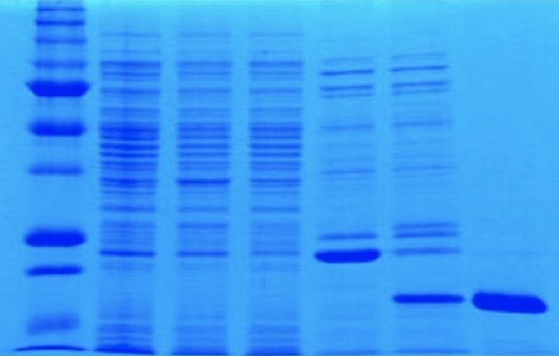 Experiment showing protein expression